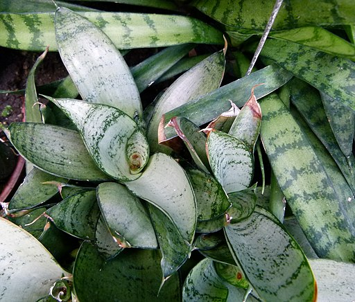 snake plant silver hahnii