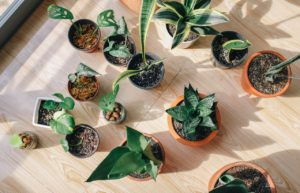 Read more about the article Snake Plant Types: Different Varieties and Cultivars