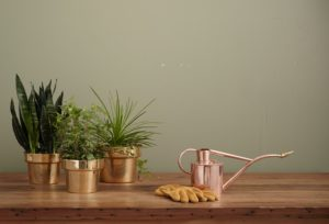 Read more about the article Watering The Snake Plants (Sansevieria)