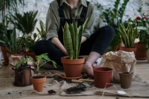 Read more about the article Repotting a Snake Plant (Mother In Law's Tongue)