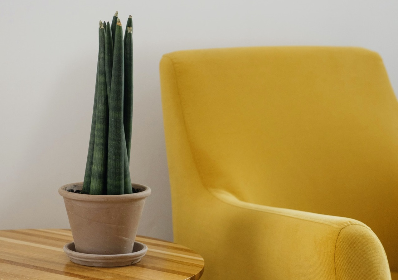 Read more about the article How to grow and care for Sansevieria Cylindrica?