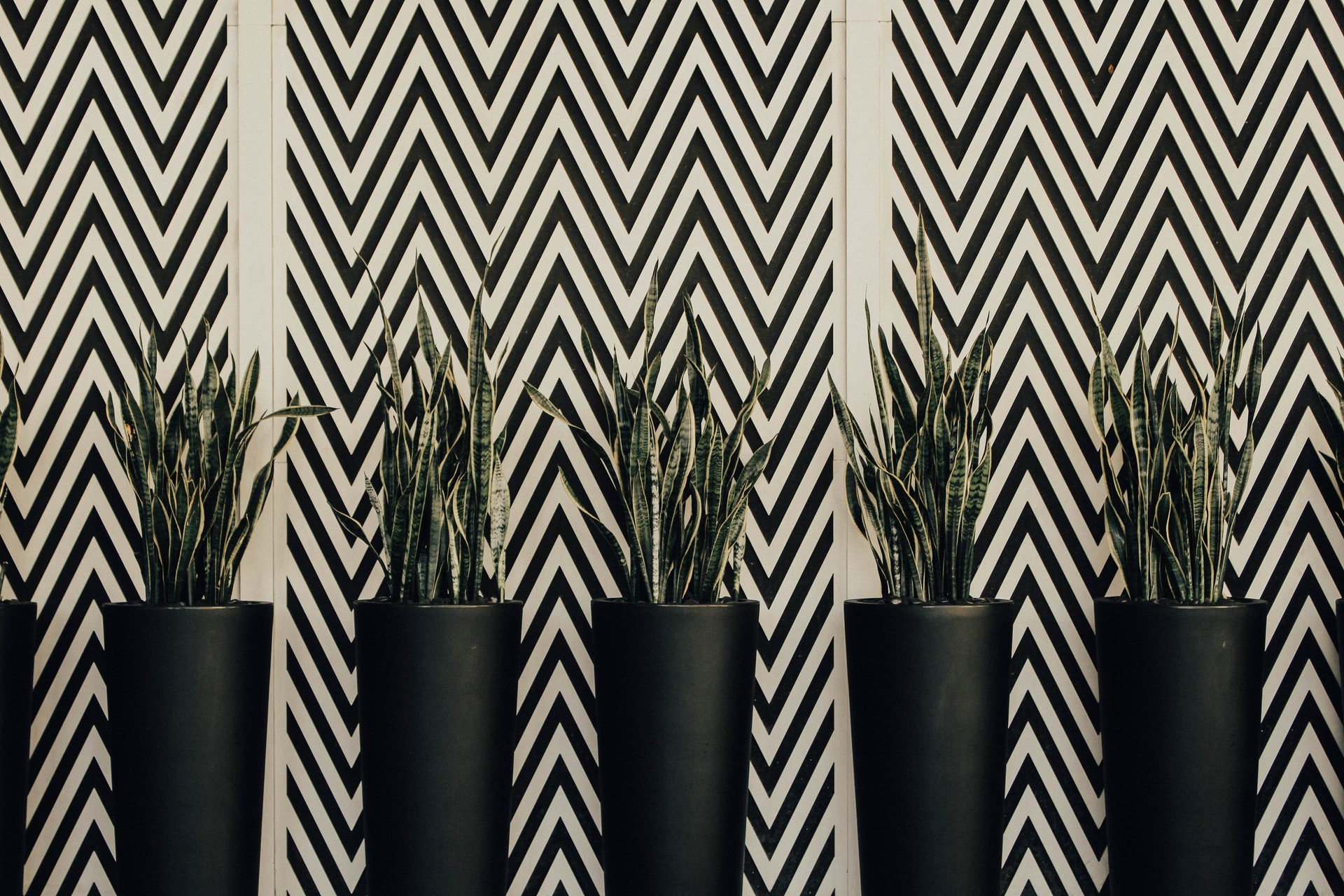 Read more about the article Why is my snake plant dying? – Reasons and solutions