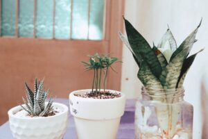 Read more about the article Grow snake plant in water – No soil indoor care guide