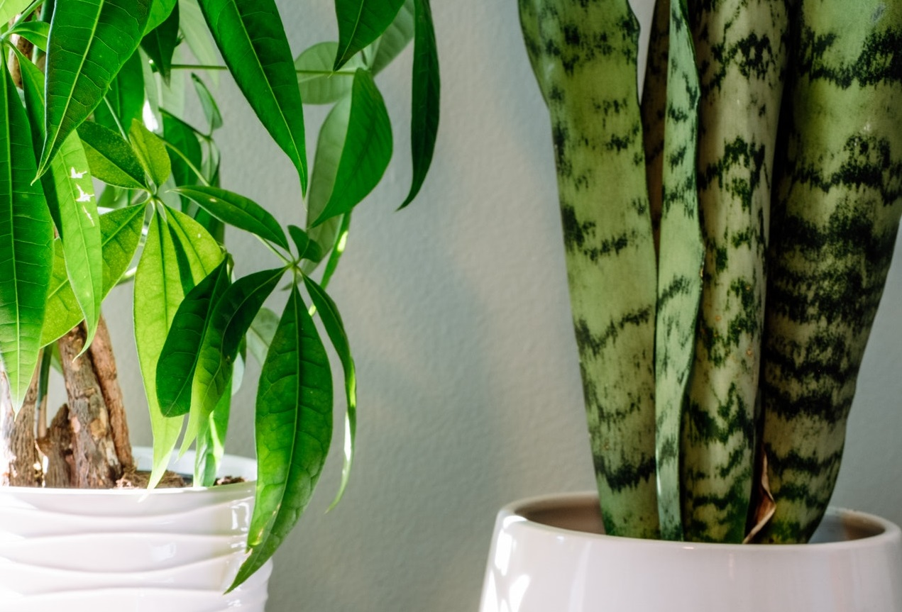 Read more about the article Viper's bowstring hemp – How to grow and cultivate the plant