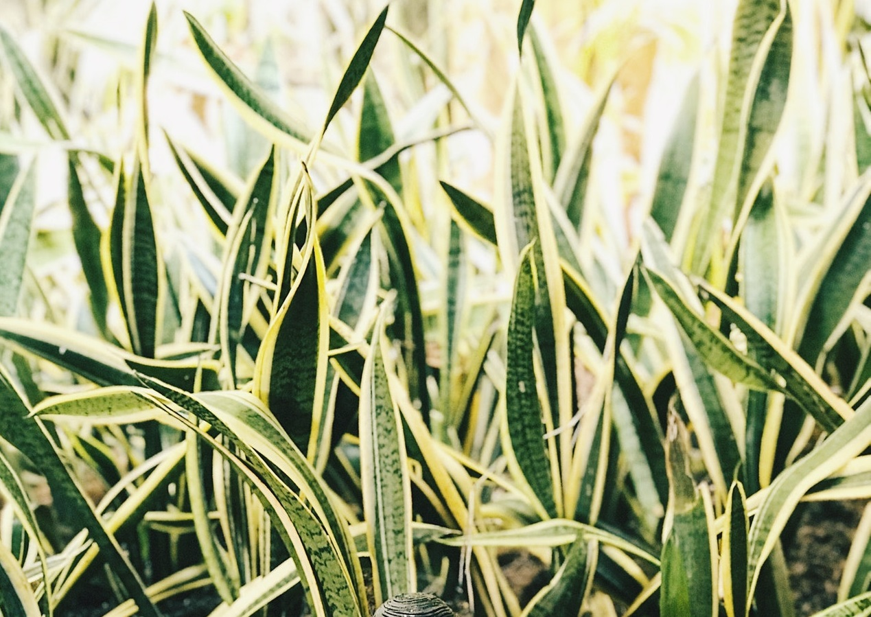You are currently viewing Large snake plant varieties for outdoors and indoors