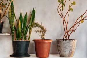 Read more about the article Snake Plant leaves turning yellow – Causes and treatments