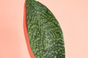 Read more about the article Sansevieria Masoniana (Whale's fin plant) – The ultimate care guide