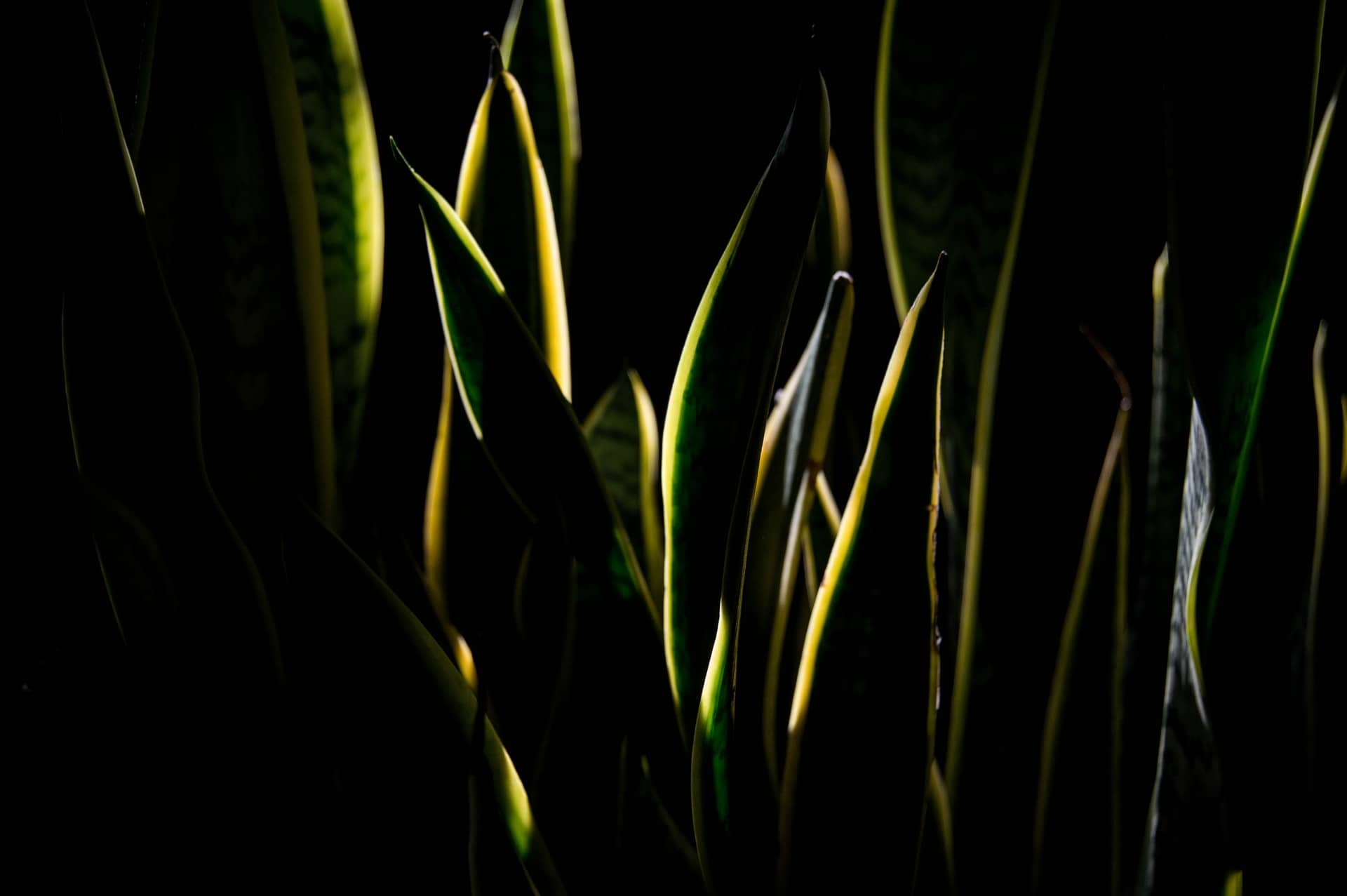 Read more about the article Dividing and rooting Snake Plant in soil