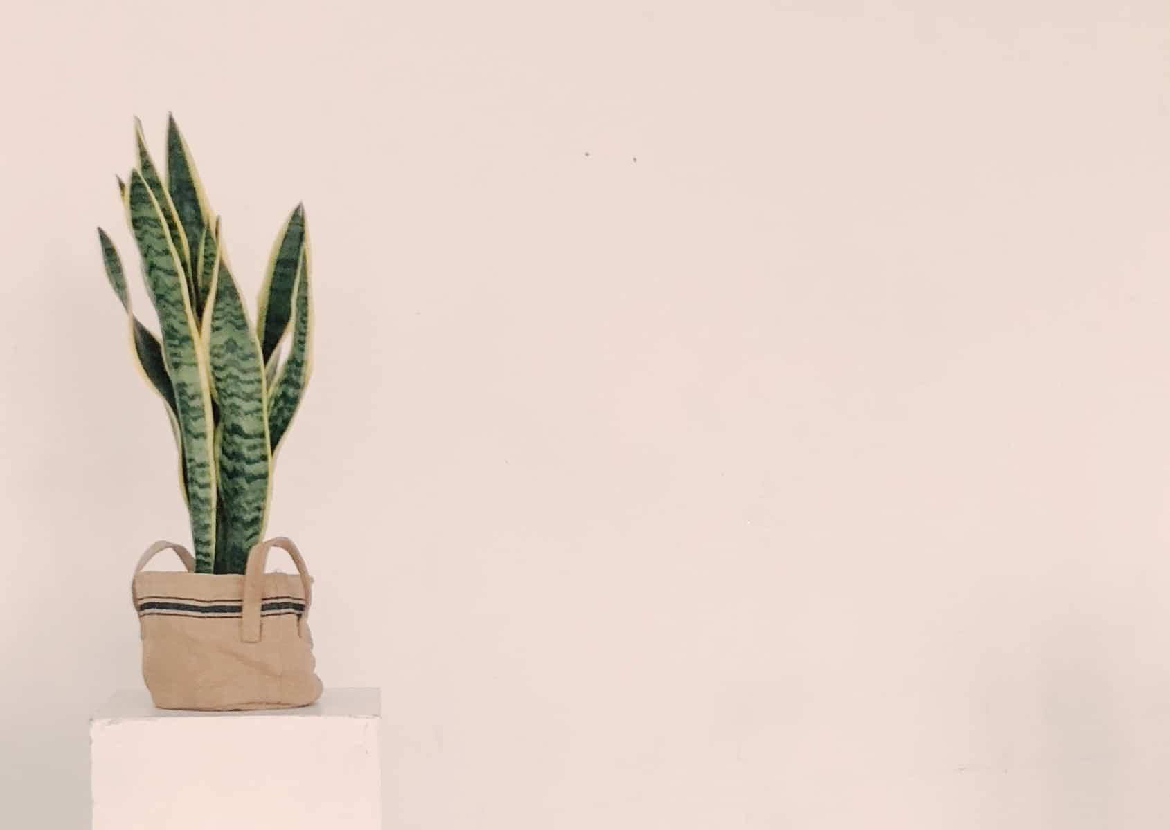 Read more about the article Sansevieria Trifasciata Laurentii – How to grow and care for the snake plant