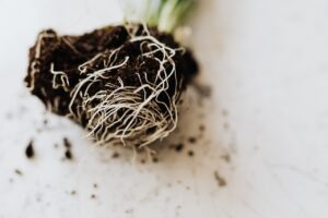 Read more about the article Snake plant root rot – What are the causes and how to treat it?