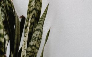 Read more about the article How to care for Sansevieria Zeylanica?