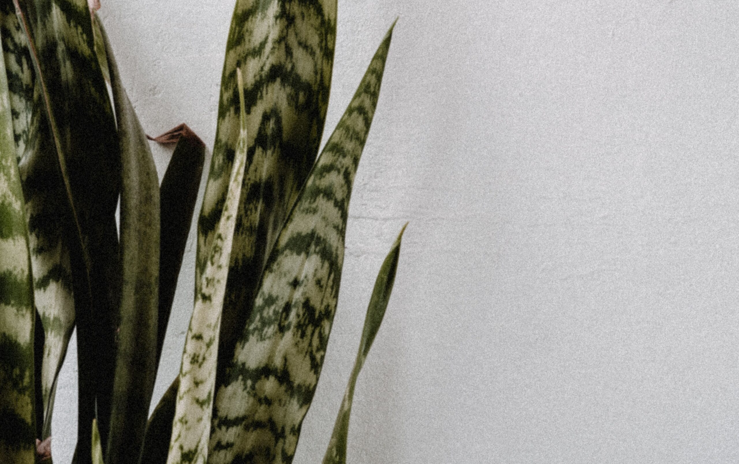 You are currently viewing How to care for Sansevieria Zeylanica?