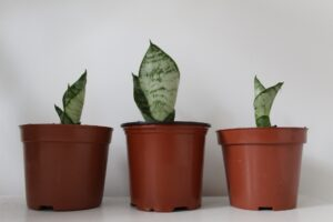 Read more about the article Small snake plant varieties – Mini Sansevieria for indoor decoration