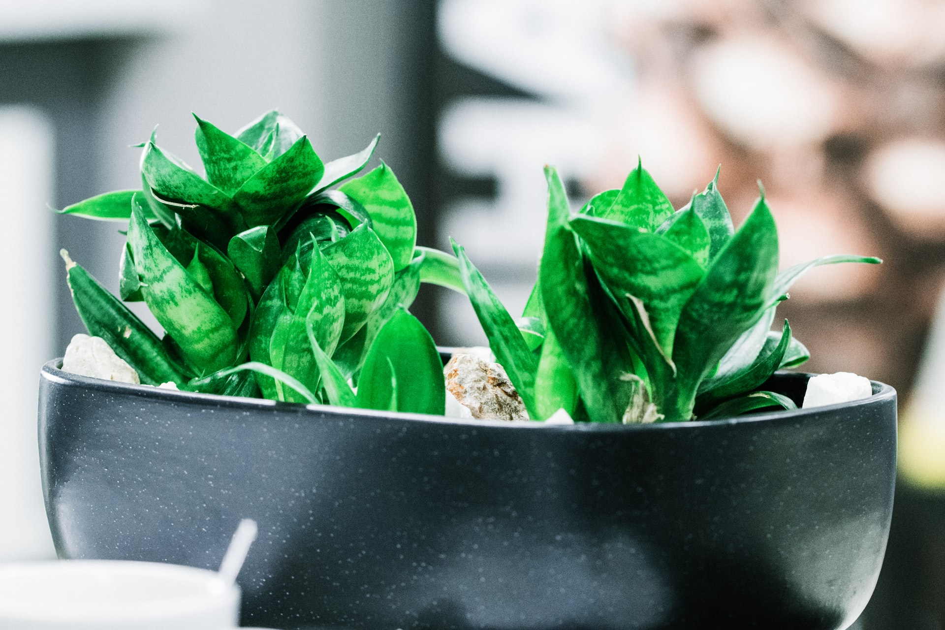 You are currently viewing Sansevieria trifasciata hahnii (Bird's nest snake plant) care guide